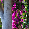 Birch and bougainvillea
