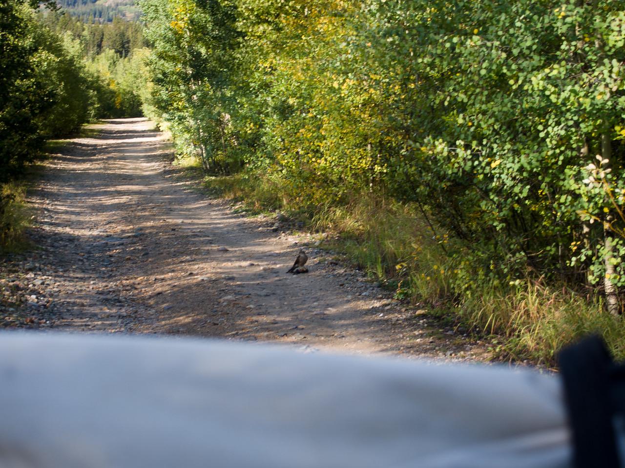 Falcon in road