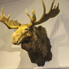 Moose Head at LL Bean