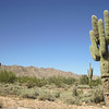 Saguaro Cactus in White Tank Mountain