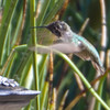 Hummingbird Approaching the Feeder