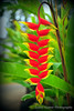 Heliconia rostrata – Hanging Lobster Claw
