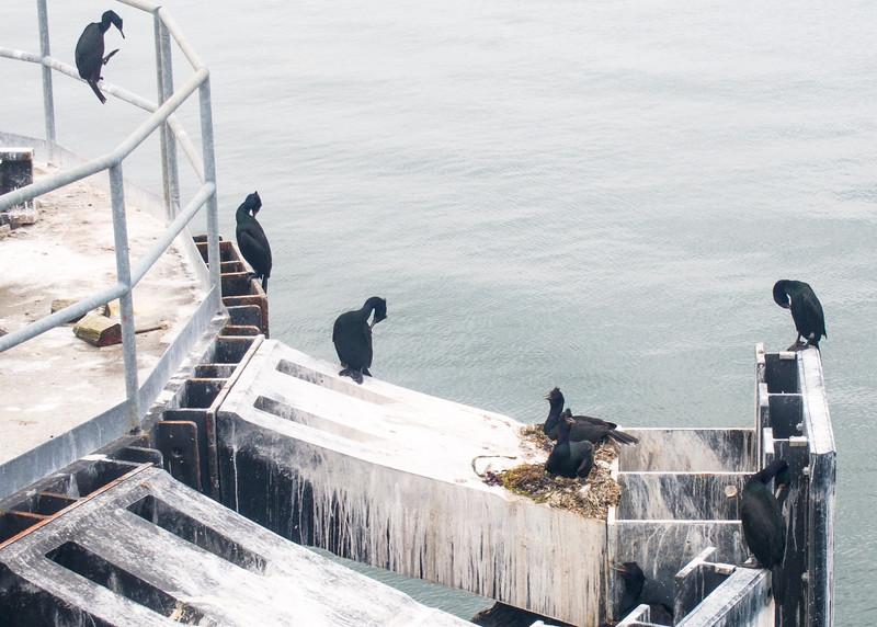 Nesting Cormorants at the Anacortes Ferry docks