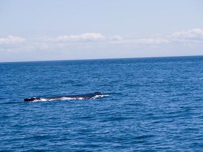 """This whale is BCX1068 """"Split Fluke"""""""