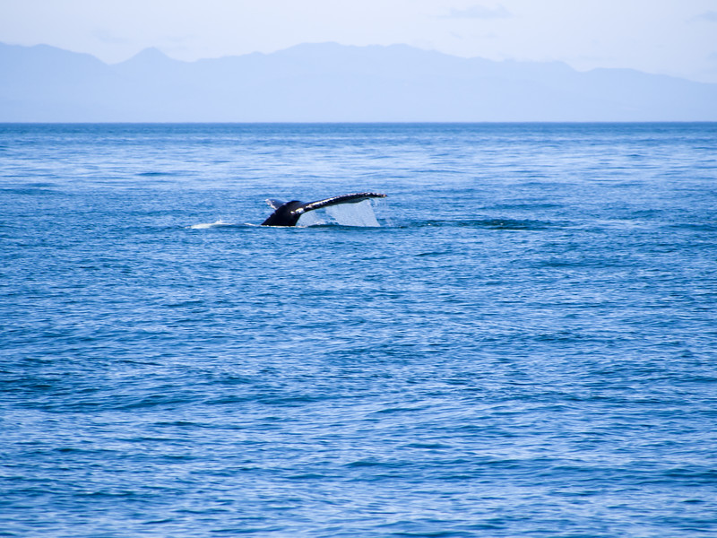The first humpback whale