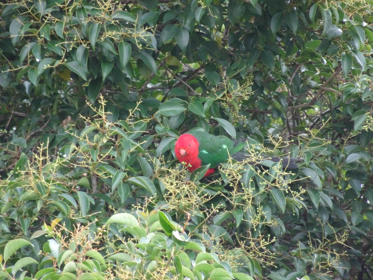 625 King Parrot