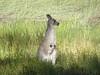 706 A kangeroo near Boomerang Beach