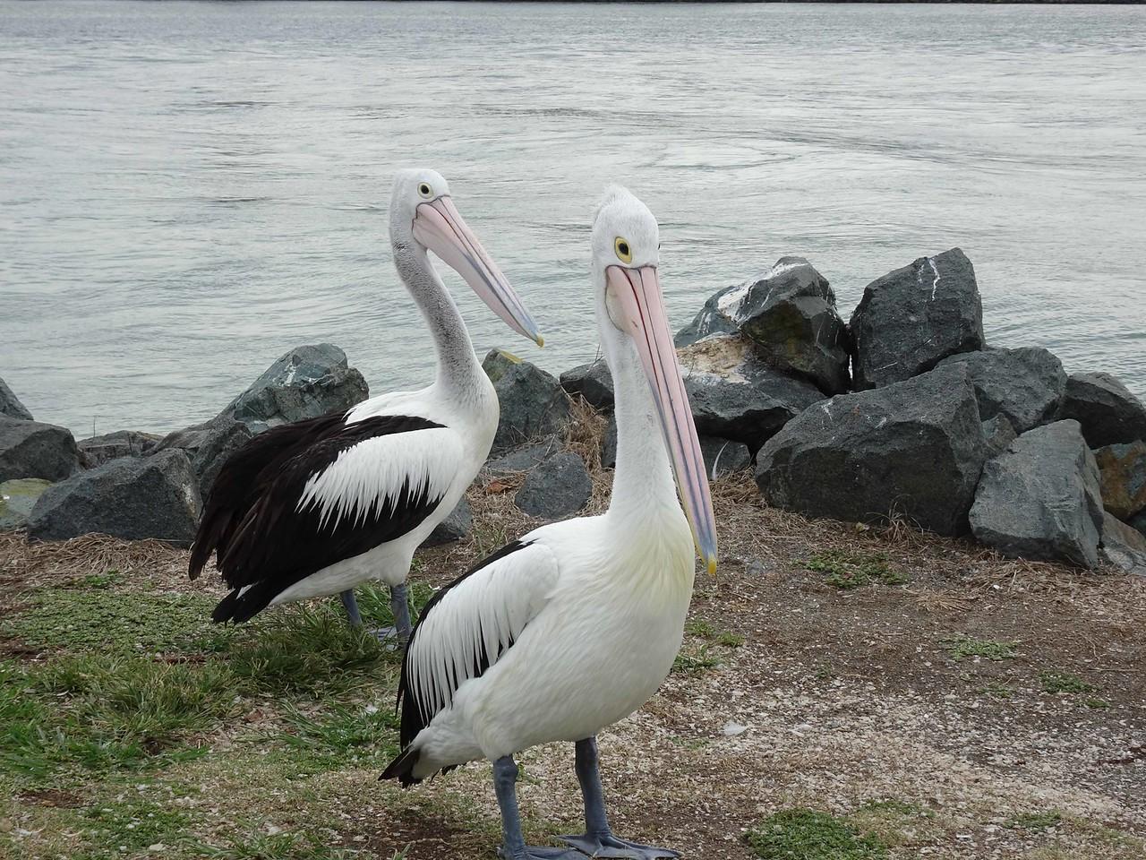 627 Australian pelicans in Forster