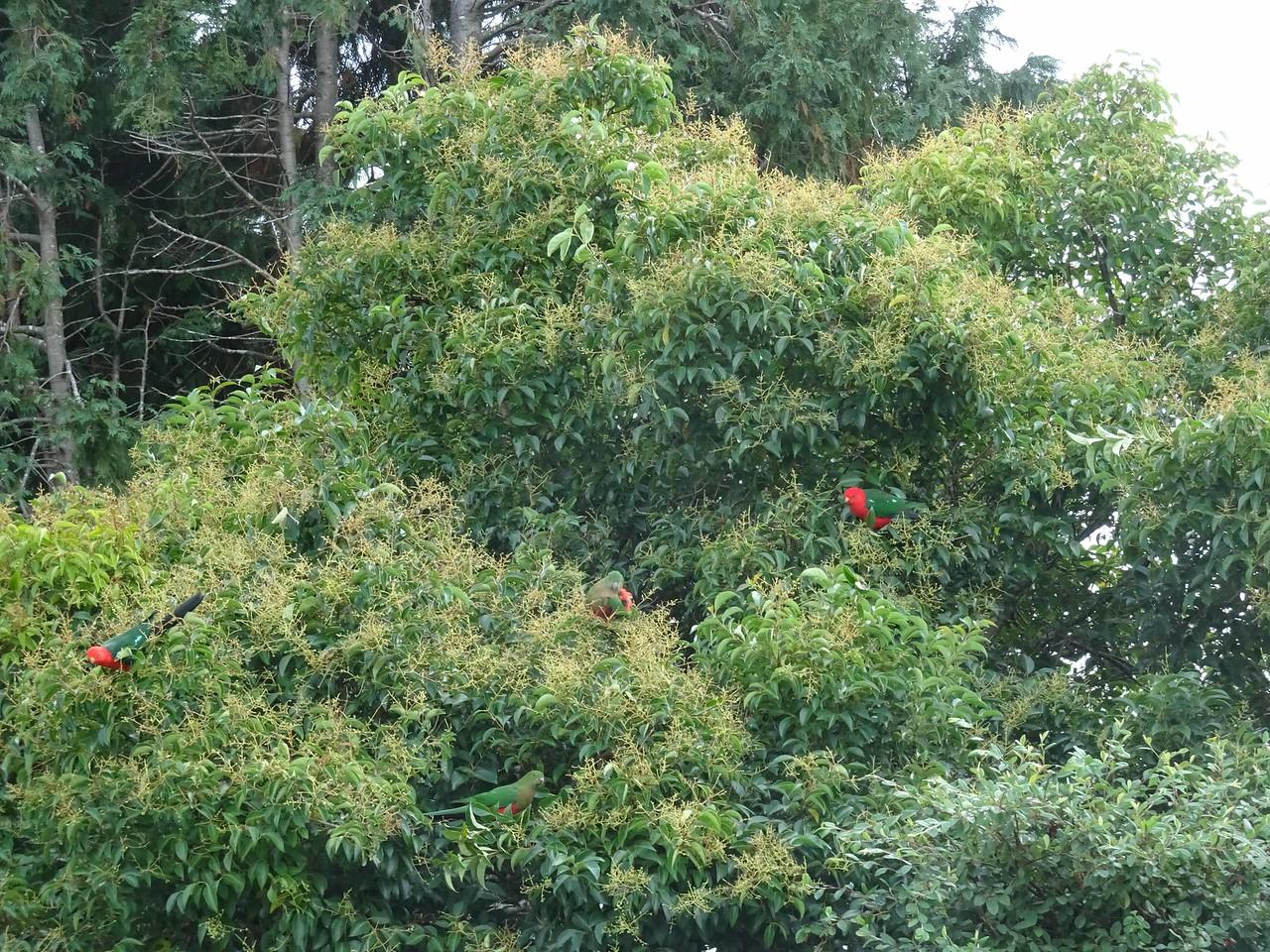 623 King Parrots