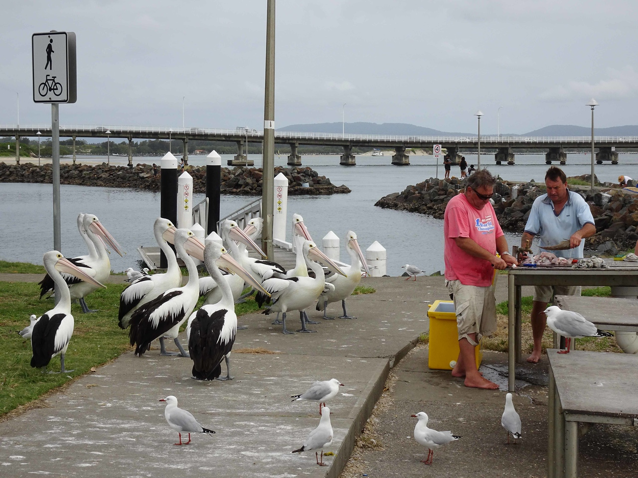 629 Australian pelicans waiting for fish head snacks