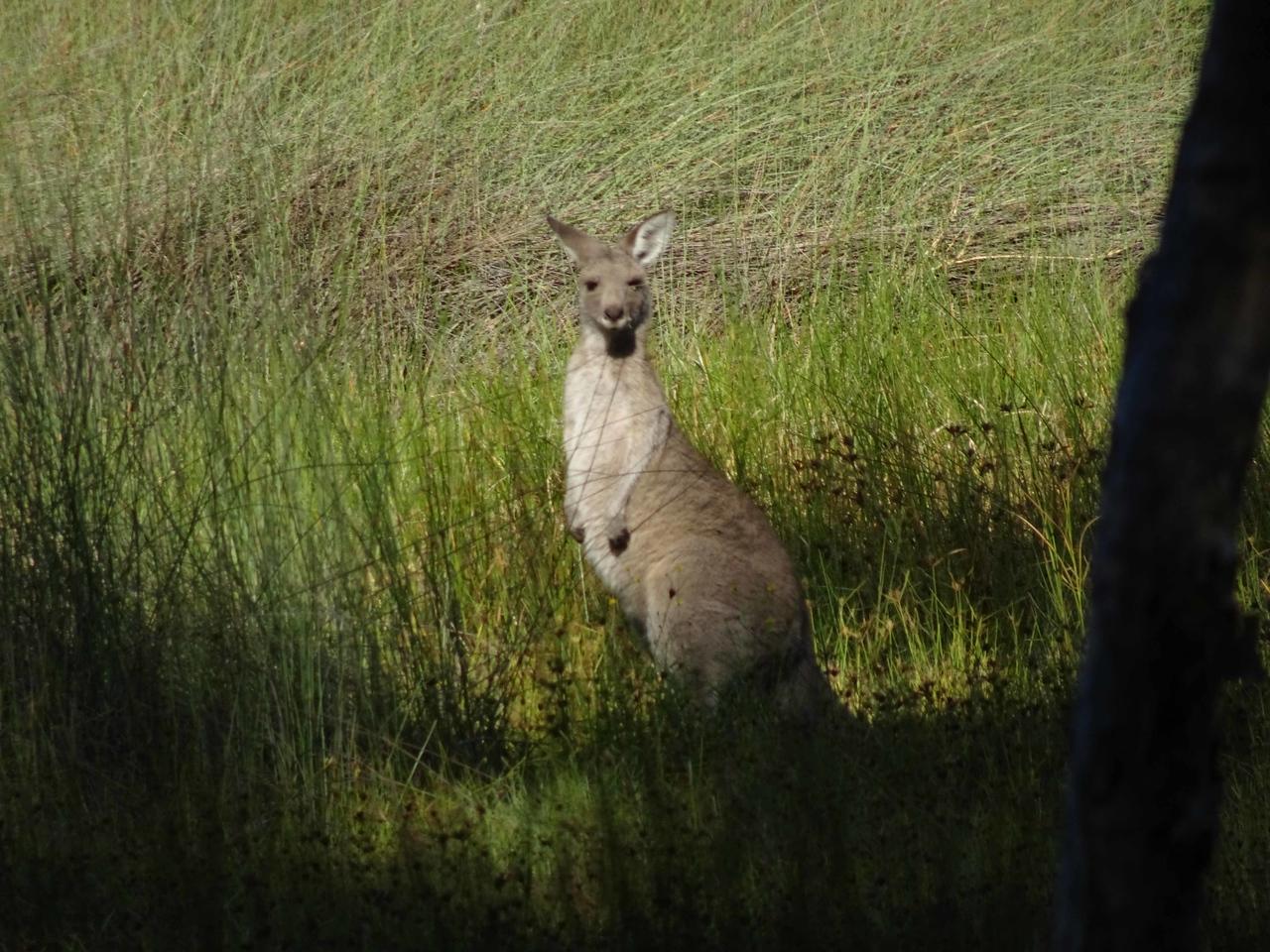 701 A kangeroo near Boomerang Beach