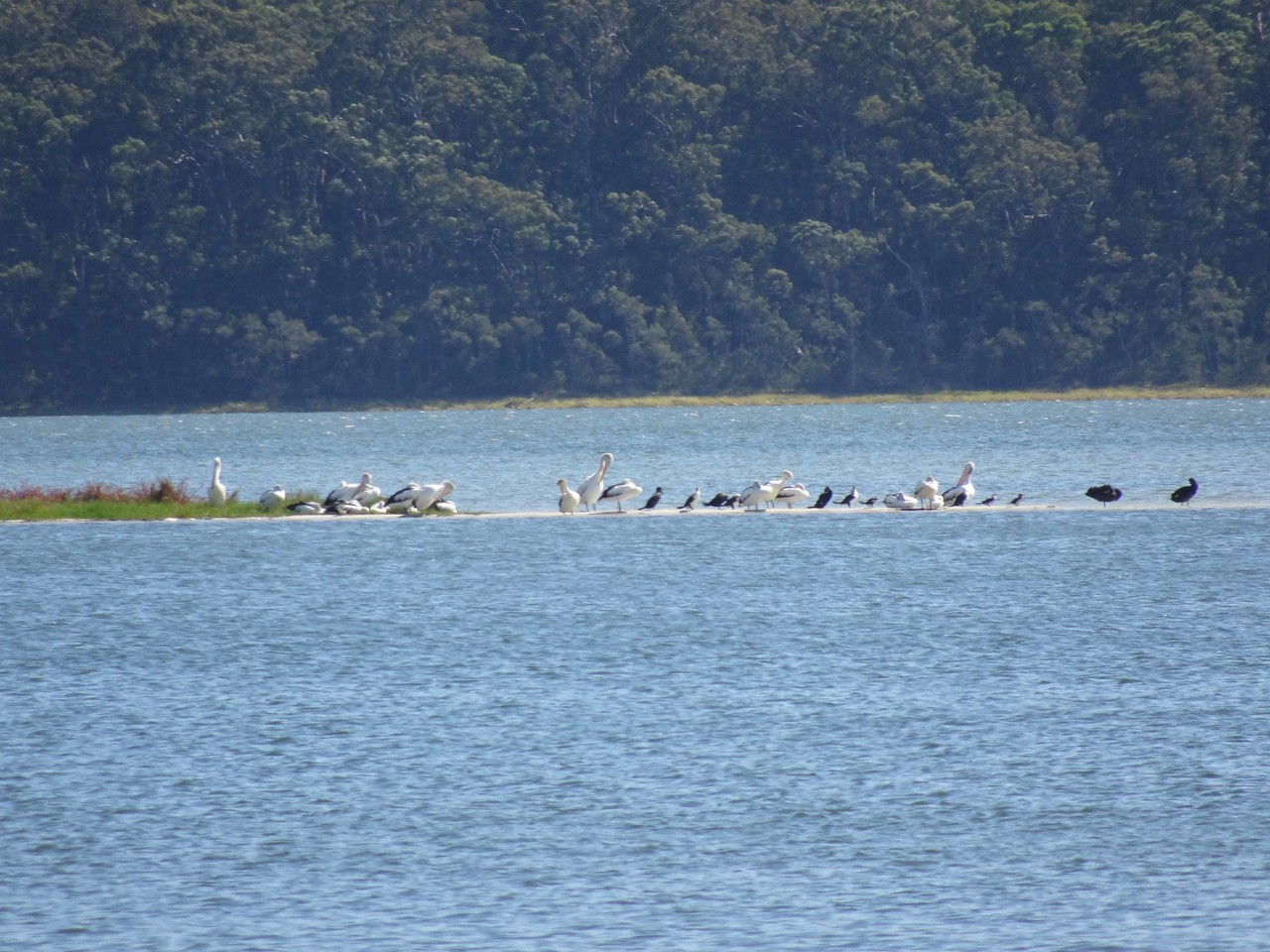 688 Pelicans and more
