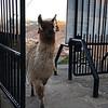 May 9, 2016   This llama came up thru the gate