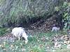 May 13, 2016   Sheep and lamb on shore