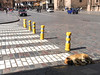 May 14, 2016  Dog napping in the crosswalk