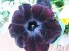 July 4, 2016  Black velvety flowers