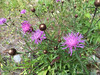 Some kind of Knapweed?