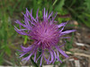 Some kind of Knapweed
