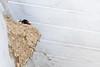 Barn Swallow at Trempealeau, WI