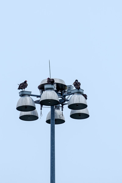 Vultures atop light standard at Lock and Dam #6