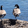 Ducks pretending they're storks
