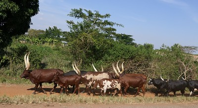 Cattle Drive along road