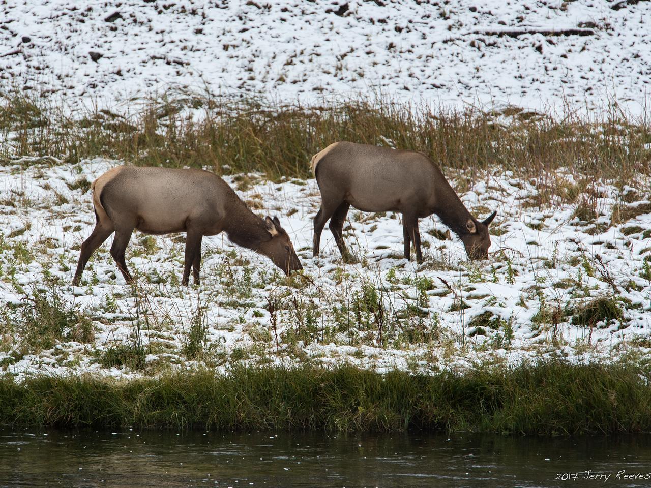 Wildlife along Gibbon River