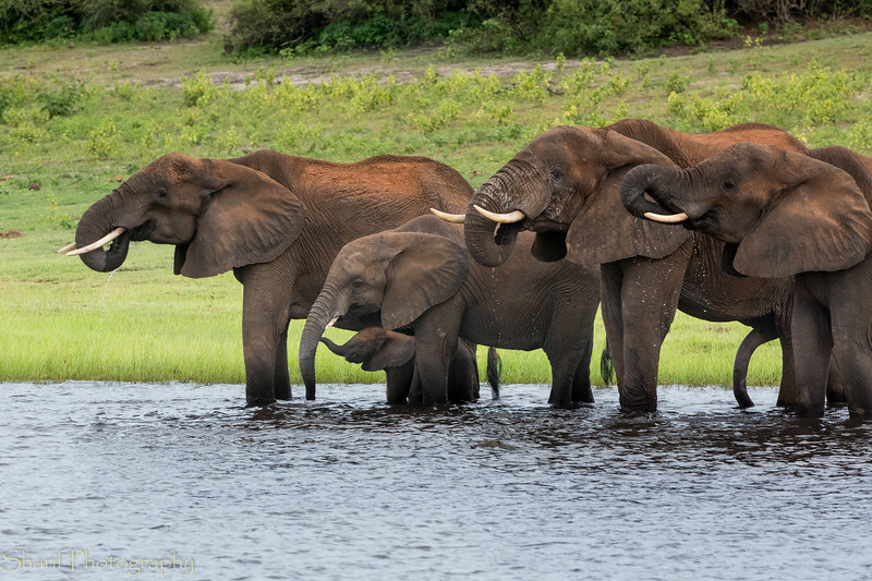 Group of elephants enjoying the river water
