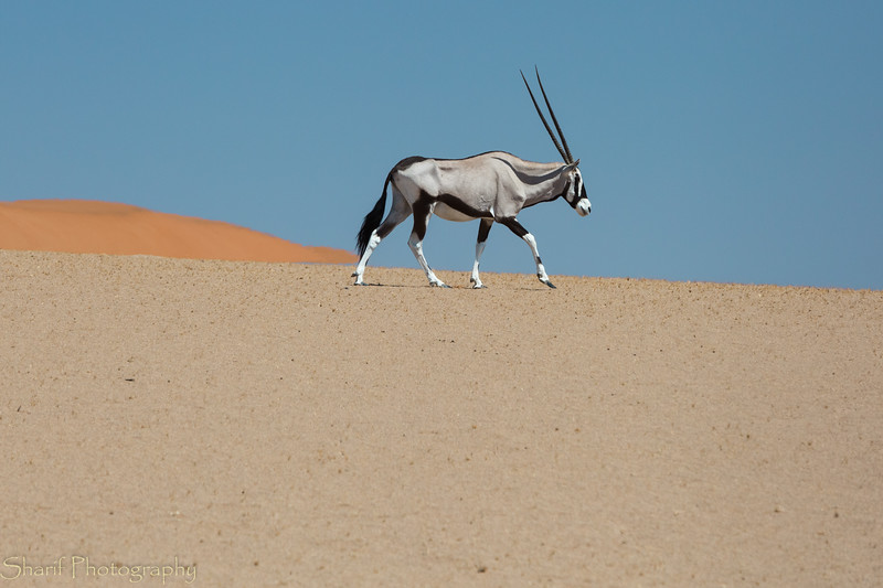 Oryx in the Namibian dunes