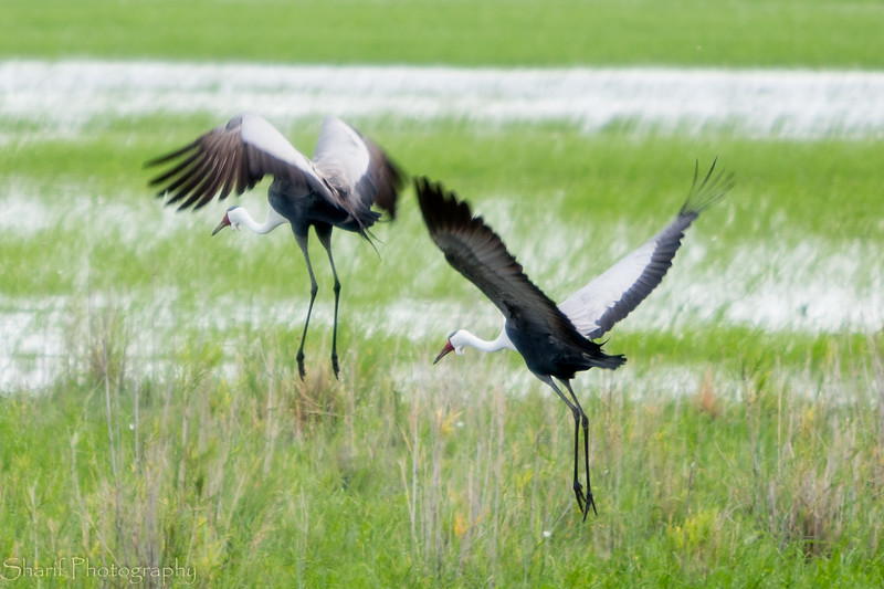 Two cranes taking off