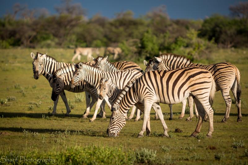 Zebras in the setting sun