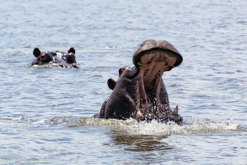 Hippo threatening