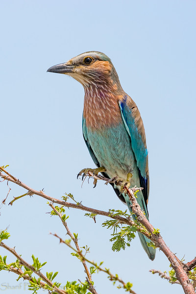 Lilac-breasted bee-eater