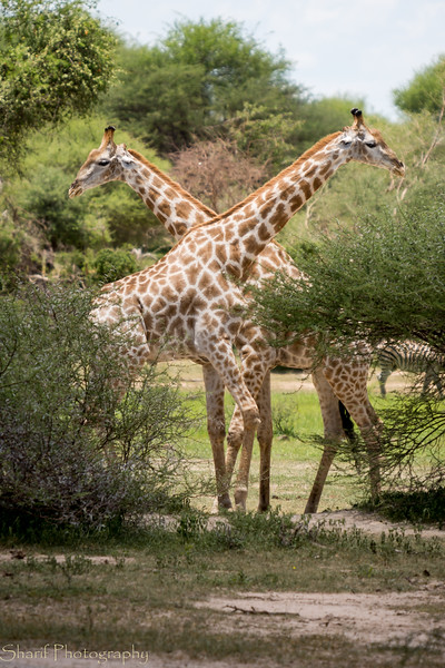 Two giraffes play-fighting