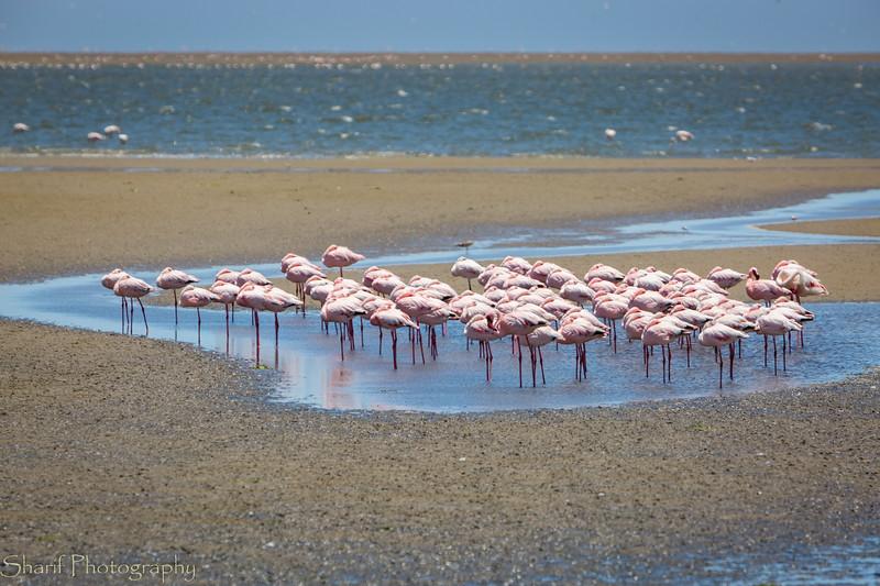 Flamingos in Swakopmund