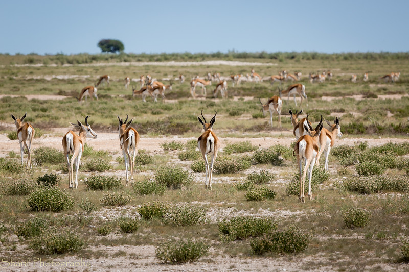 A large group of impalas