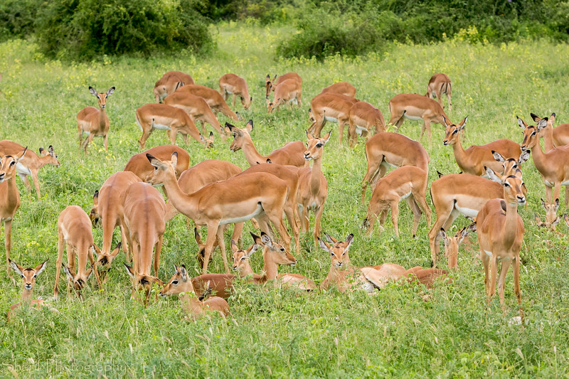 Large group of springbok