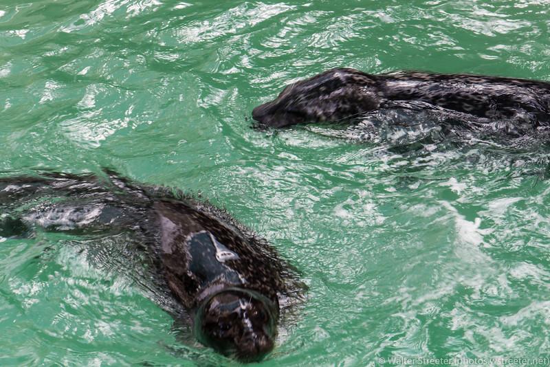 Seals at Niagara