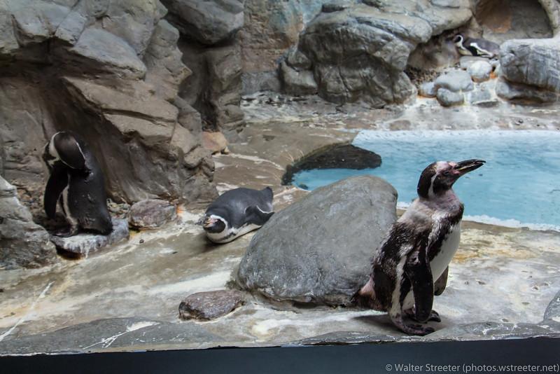 Penguins at Niagara