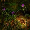 15  G Garvan Woodland Gardens Purple Flower