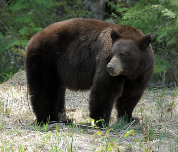 We are still deciding, young grizzly or black bear