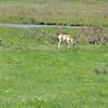 Pronghorn grazing