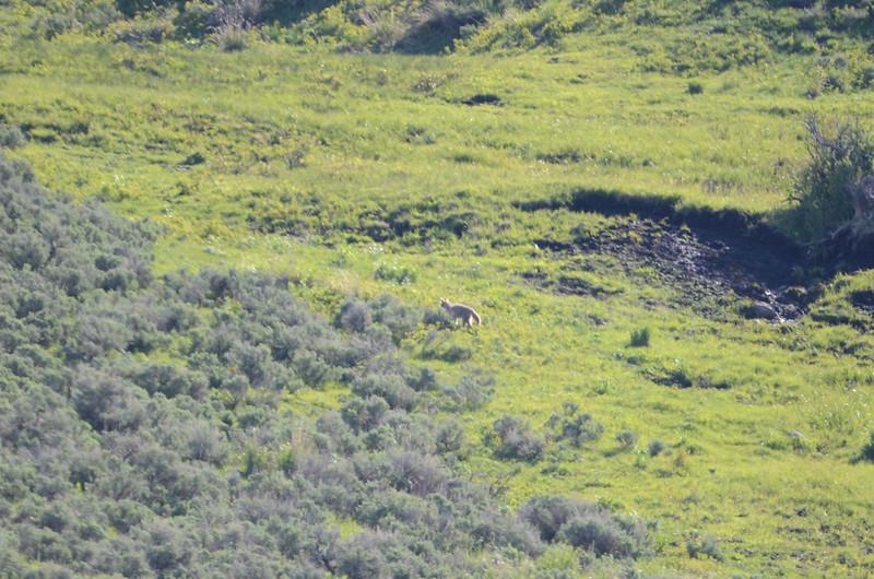 I believe it is a coyote...we were a bit far away