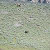 2 grizzlies take down an elk's calf....the mother elk looks helpless