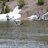 A duck takes flight