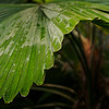 A large, green leaf at The Eden Project