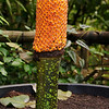 A Titan arum (Amorphophallus titanum) or Corpse Flower at Eden.  It is covered in berries, having recently flowered and been successfuly pollinated.