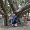 The Lahaina Banyan Tree