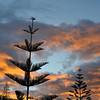 Sunrise behind some pine trees.