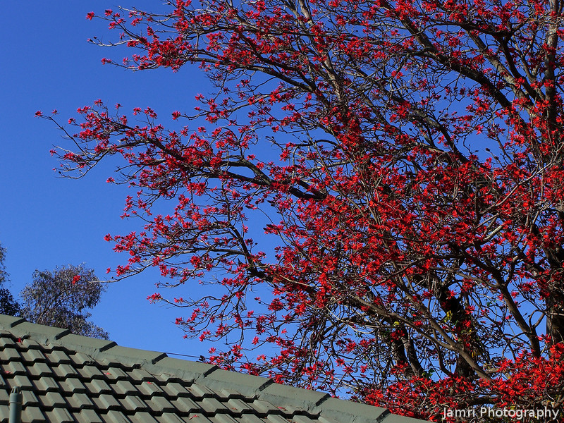 A Coral Tree by My Parents' House.<br /> This particular tree was just out side the room where I slept (my old bedroom) and brought an abundance of bird life to wake me up in the morning.